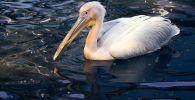 Краснокнижный розовый пеликан поселился в ботаническом саду Петропавловска