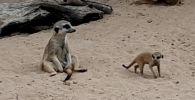 Милые и смешные: малыши сурикатов появились на свет в Алматинском зоопарке