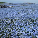 Люди гуляют по полям цветущих голубых немофил