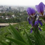 Алматы. Синие ирисы на фоне города