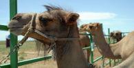 Верблюжья ферма, архивное фото