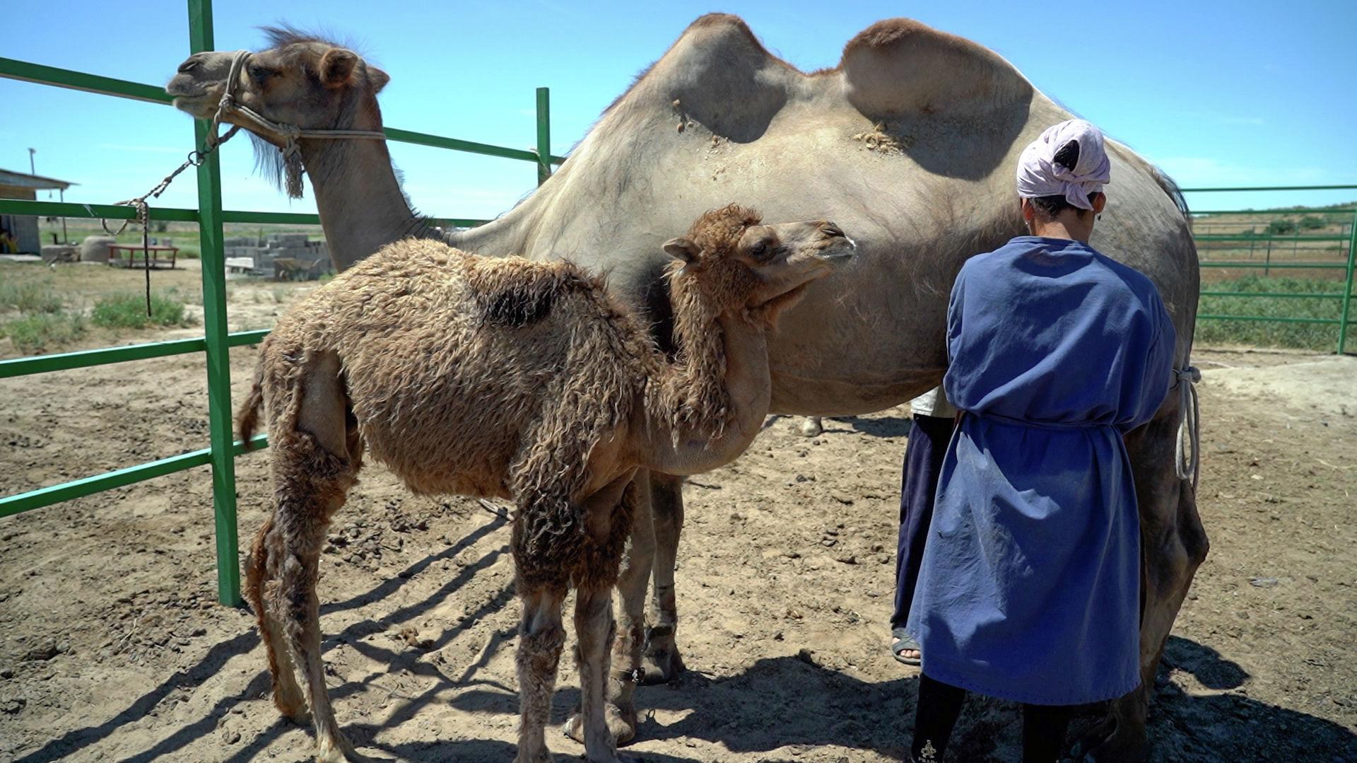 Верблюжонок ожидает окончания дойки, чтобы получить свою порцию молока