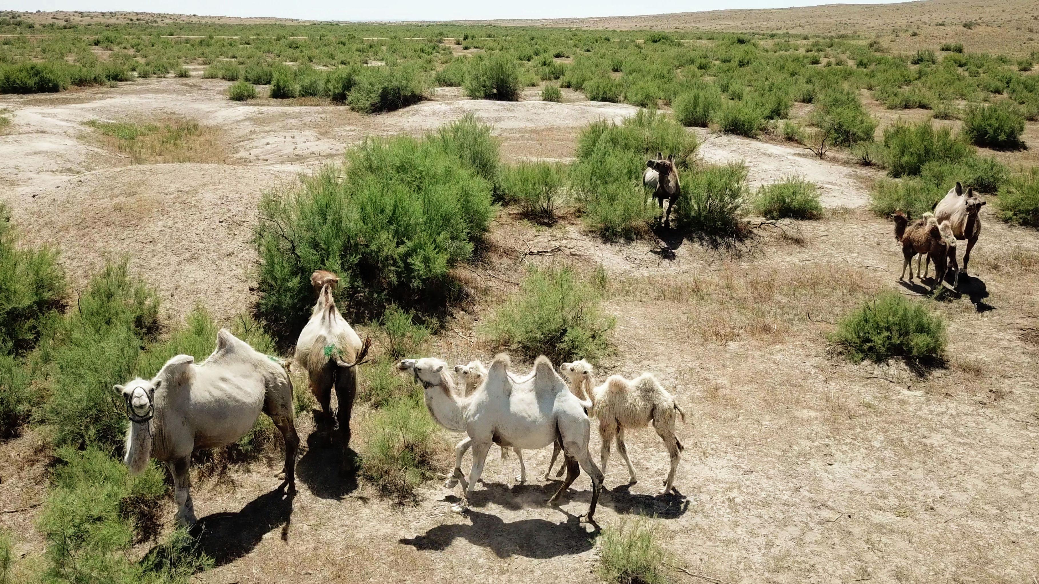 Верблюды на свободном выпасе