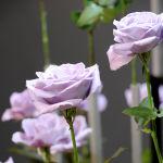 Геномодифицированные голубый розы