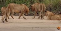 Краб дал отпор львиному прайду - видео