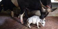 Самая маленькая корова в мире живет в Бангладеш
