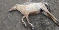 Скот гибнет от жажды и бескормицы