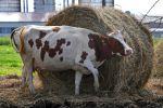 Корова на ферме, архивное фото