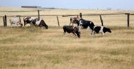 Коровы пасутся на высохшем поле, архивное фото