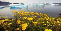 Гренландиядағы жабайы гүлдер