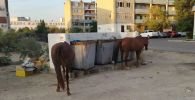 Лошади ищут еду в мусорках