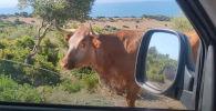 Корова показывает водителю дорогу на пляж - вирусное видео