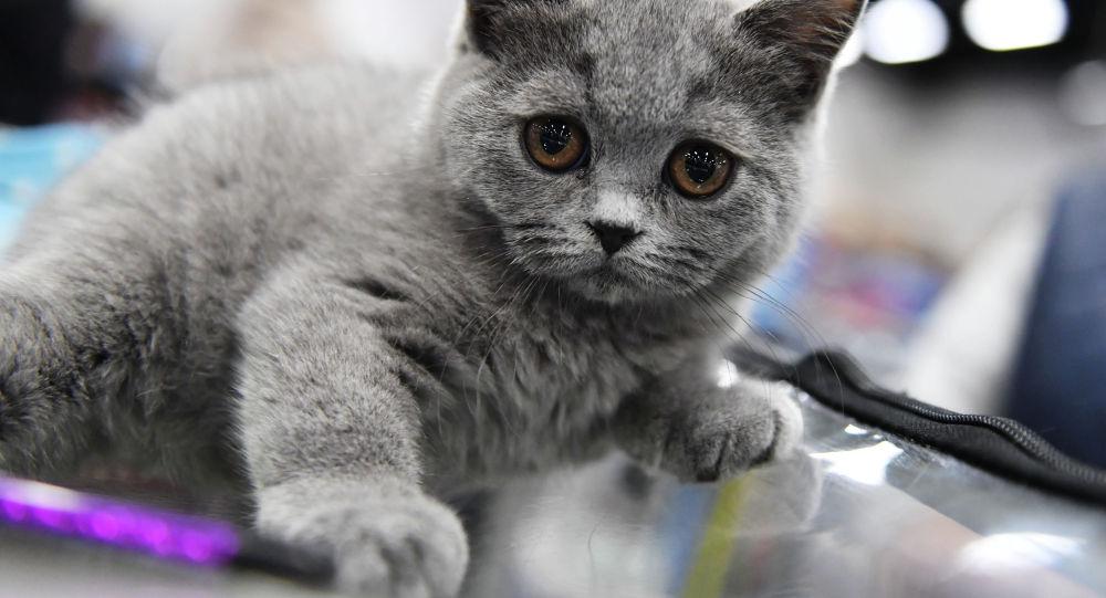 Котенок породы британская, архивное фото