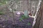 Забор-убийца: первые жертвы на белорусско-литовской границе - видео