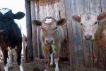 Не сможем прокормить детей: почему сельчане близ Нур-Султана массово избавляются от скота - видео