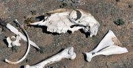 Кости погибшего животного в пустыне, иллюстративное фото