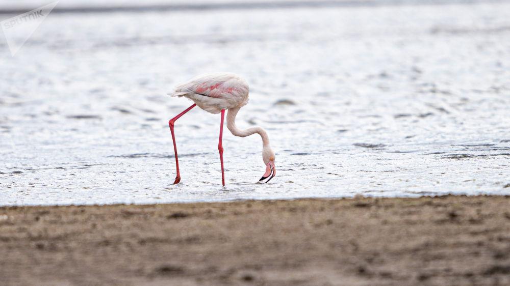 Фламинго на Талдыколе