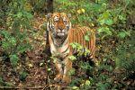 Тигр в дикой природе