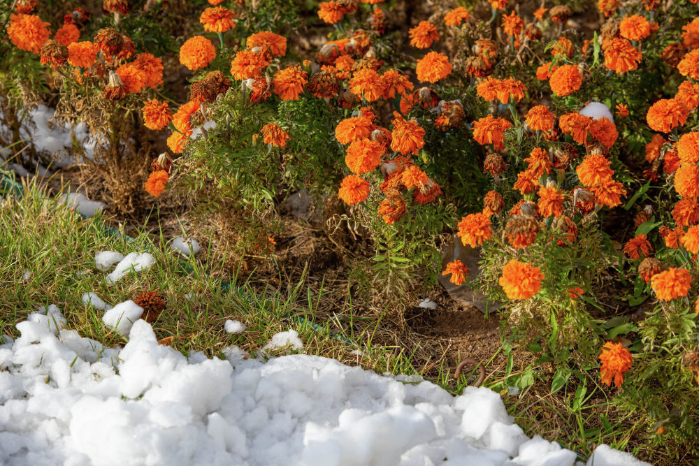 Снег на клумбе с бархатцами на левобережье Нур-Султана