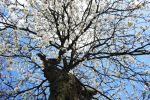 Яблоня, иллюстративное фото