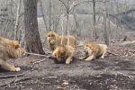 Львы устроили соревнования по перетягиванию каната