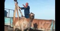 Нефтяники спасли застрявшего между трубами верблюжонка в Мангистау - видео