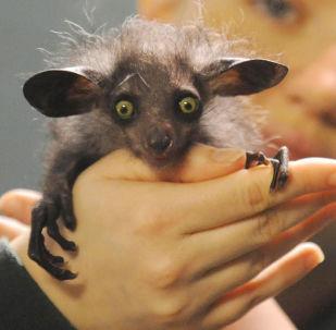Мадагаскарская руконожка в руках сотрудника Бристольского зоопарка