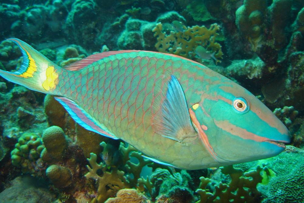 Рыба-попугай