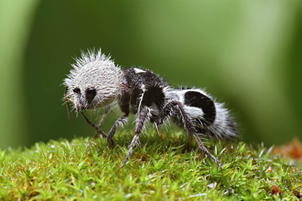 Вид ос, из-за необычной внешности прозванный муравьем-пандой