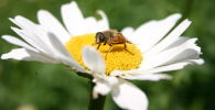 Пчела собирает пыльцу ромашки, архивное фото