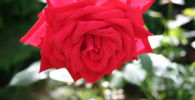 Розы, архивное фото