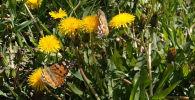 Бабочки захватили Нур-Султан