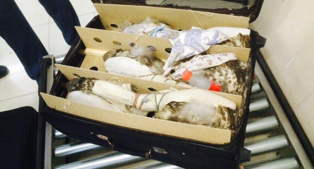 Архивное фото соколов-балобанов, изъятых у контрабандистов