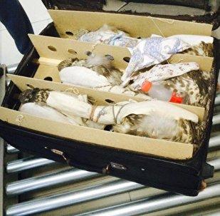 Контрабандистерден алынған балобан сұңқарлар