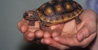 Сухопутная черепаха, архивное фото