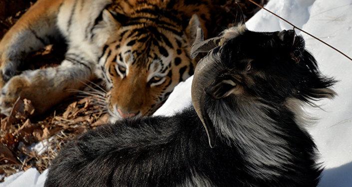 Тигр Амур и козел Тимур