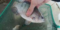 Тропическая рыба тиляпия