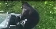 ВСШАмедведь угнал машину иврезался вдерево - видео
