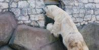 Белый медведь в зоопарке, архивное фото