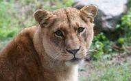 Львица в зоопарке, архивное фото