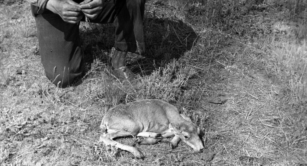 Детеныш сайгака, архивное фото