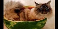 Кот и арбуз - видео