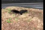 Черная белка выскочила из дупла и напугала дровосека - видео