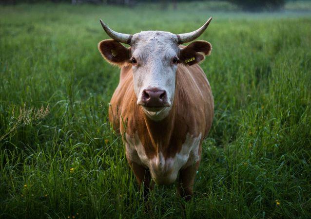 Корова, иллюстративное фото