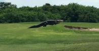 Прогулка гигантского аллигатора удивила Сеть - видео