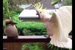 Какаду ругается на пернатого гостя - видео