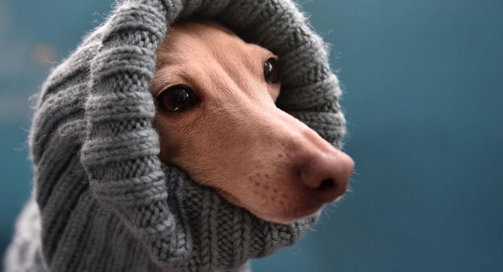 Итальянская борзая на выставке собак в Бишкеке, архивное фото