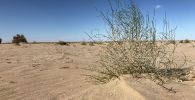 Это дерево саксаула высадили весной 2019 года. Растение помогает сдерживать пески: останавливает движение барханов
