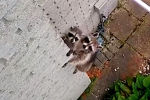 Маленький енот взобрался на стену - видео
