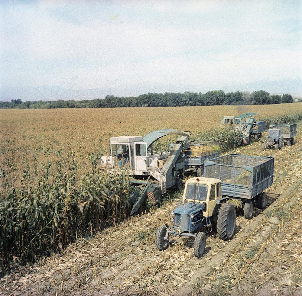 Сбор урожая кукурузы в колхозе 40 лет Октября